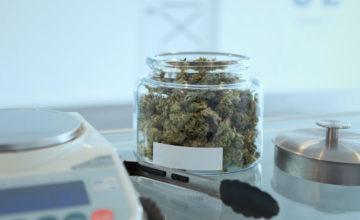 Le cannabis légalisé suivi à la trace